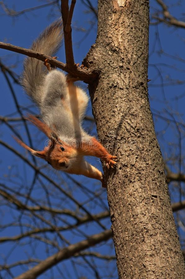 Squirrel on a tree. Curious squirrel on a tree stock photo