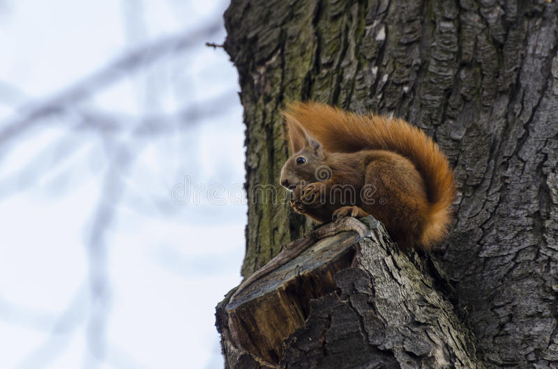 Download Squirrel stock image. Image of summer, tail, little, life - 32252069