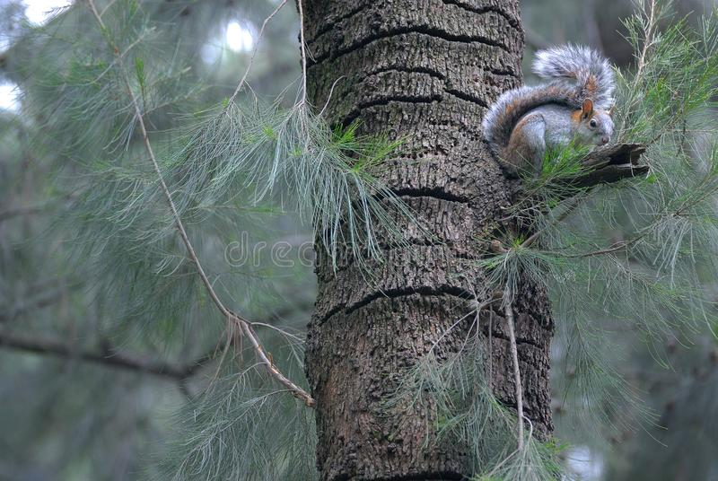 Squirrel on a tree in the forest. Mexico royalty free stock images
