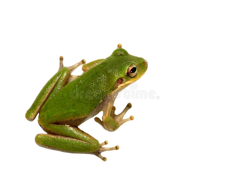 Squirrel Tree Frog Isolated on White. A Closeup of a green squirrel tree frog isolated on white royalty free stock photography