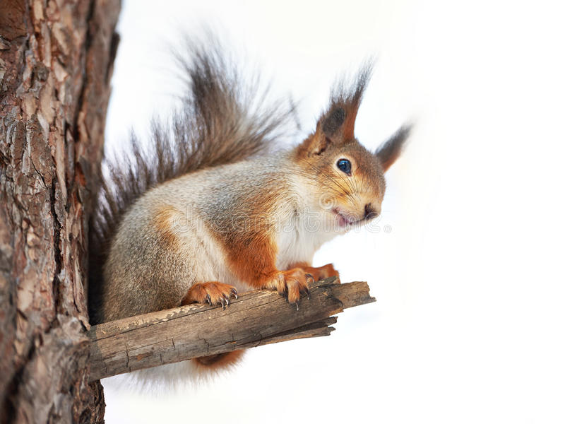 Squirrel on tree isolated. Squirrel on tree on winter day isolated royalty free stock images