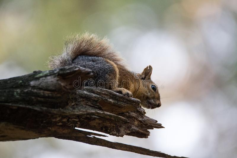 Squirrel on tree. Squirrel perched on a tree branch in the morning sunlight stock photos