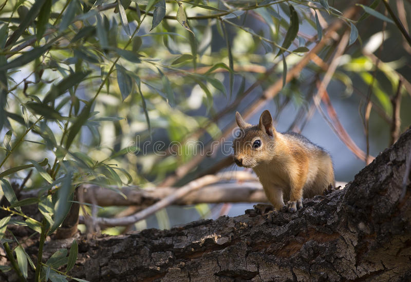 Download Squirrel on Tree stock photo. Image of still, wildlife - 32252010