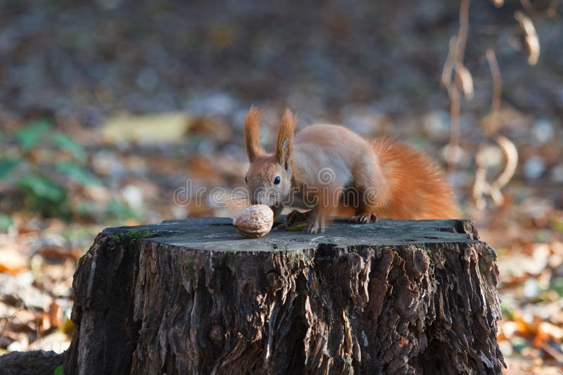Squirrel on a tree stump. With a nut stock image