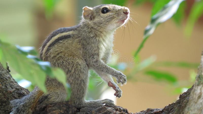 Squirrel on tree top on alert stock images