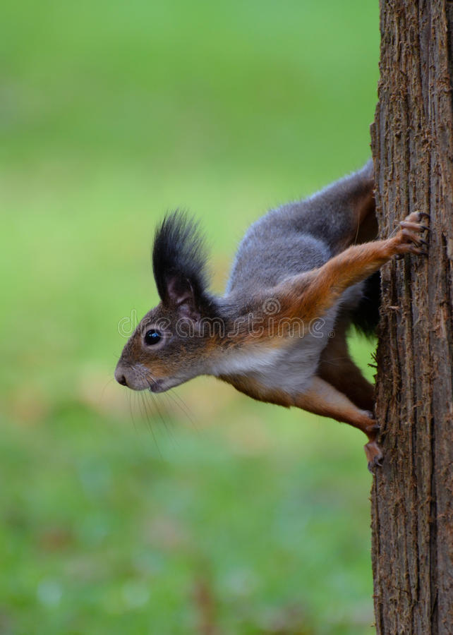 Squirrel on tree trunk. Brown squirrel holding onto a tree trunk. Sciurus vulgaris is also known as a common squirrel in continental Europe royalty free stock photos