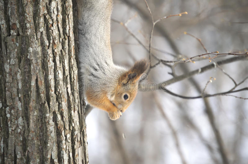 Squirrel on a tree upside down, trying something there. Forest squirrel smartly navigate the tree and up and down. However, it can be fed and being upside down stock images