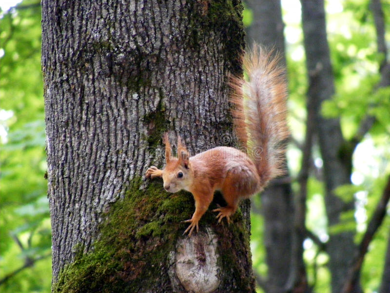 Squirrel on the tree. Waiting for more food stock images