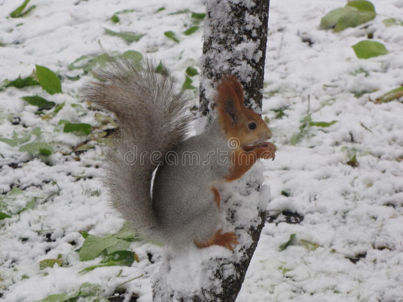 Squirrel on the tree in winter.  royalty free stock image