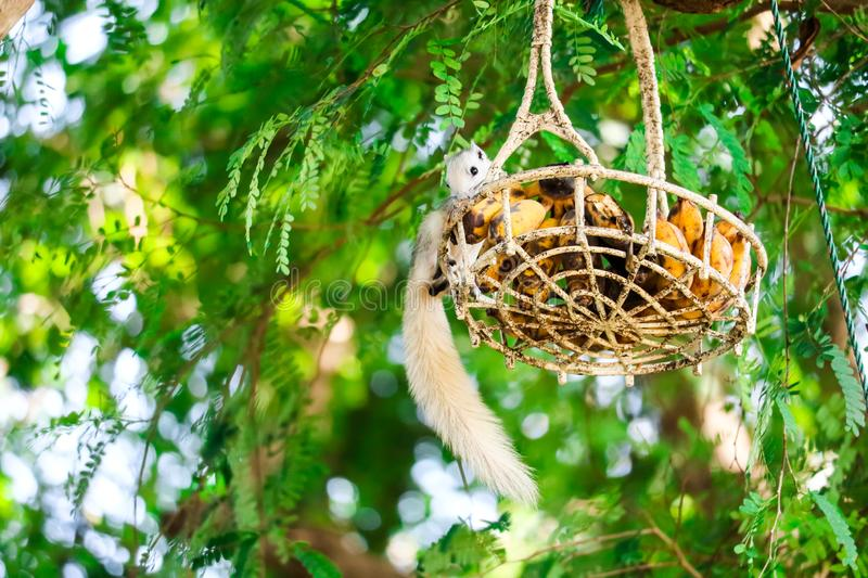 Squirrel trickling fruit in basket hanging on a tree. Squirrel trickling fruit in a basket hanging on a tree animal animals apple background banana beautiful royalty free stock photography