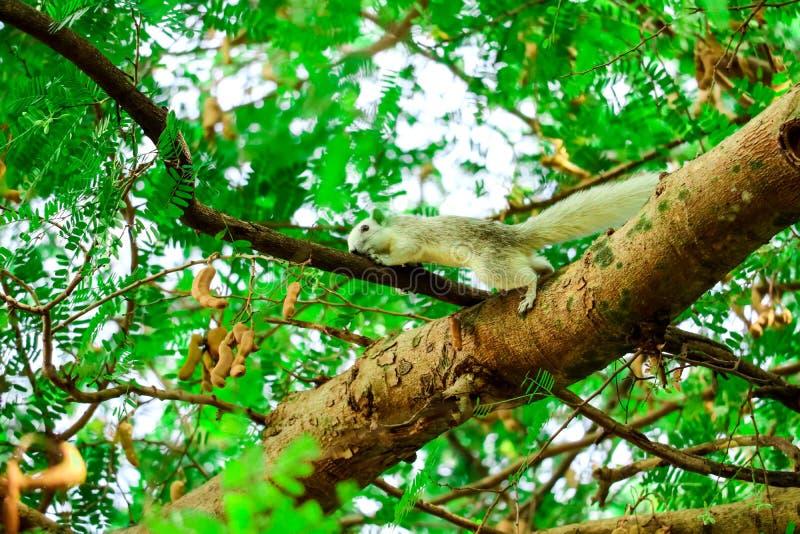 Squirrel trickling fruit tamarind in branch tree. Squirrel trickling fruit tamarind in a branch tree animal animals background banana basket beautiful beauty royalty free stock photo