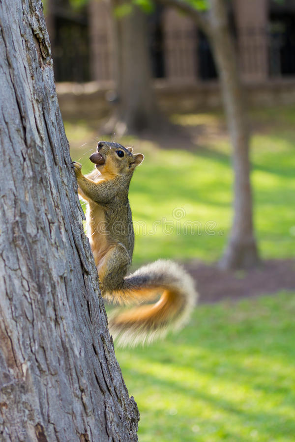 Squirrel with a wagging tail. And a nut in its mouth stock images