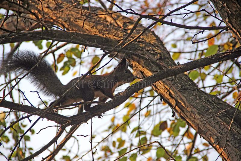 The squirrel walk on the tree branch royalty free stock photo