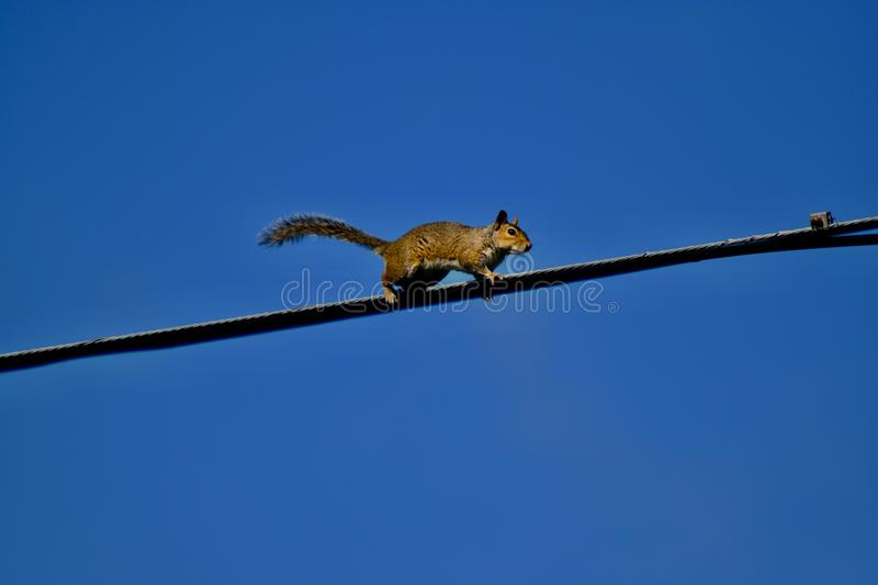 Squirrel walking on electric cable stock photos