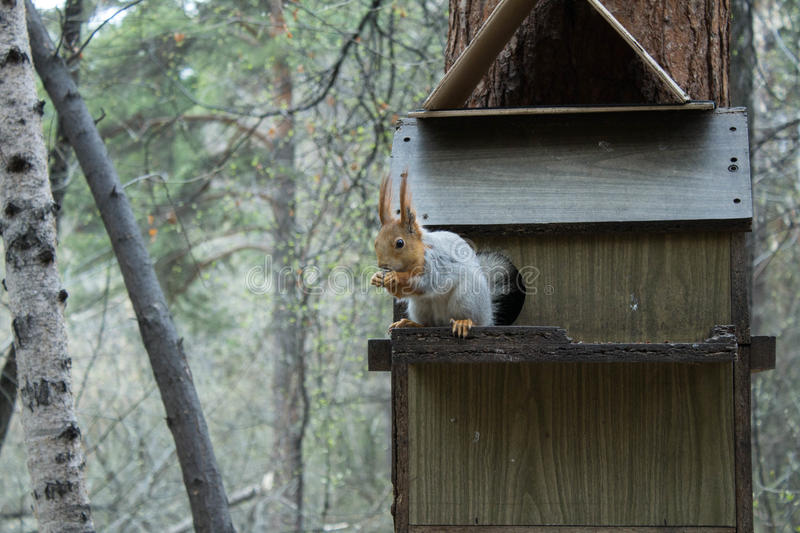 Squirrel in the wild royalty free stock photo