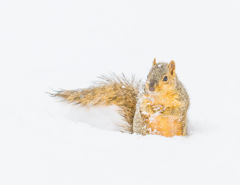 Squirrel in Winter. Colorado - Survival Skills royalty free stock photo