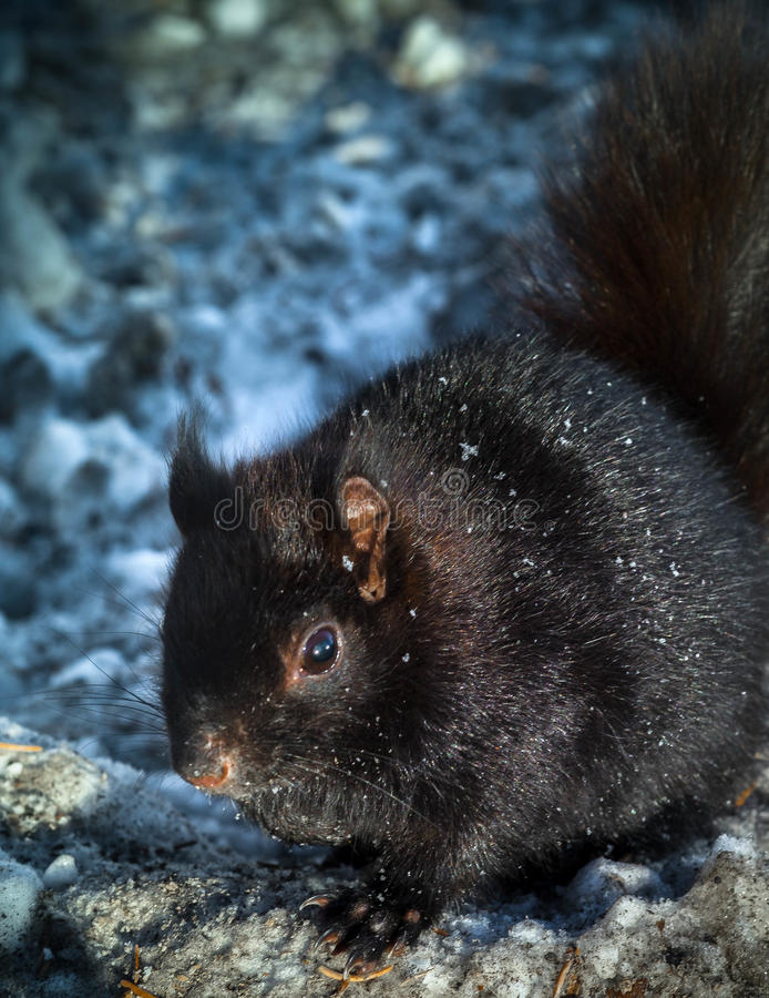 Squirrel in winter stock photography