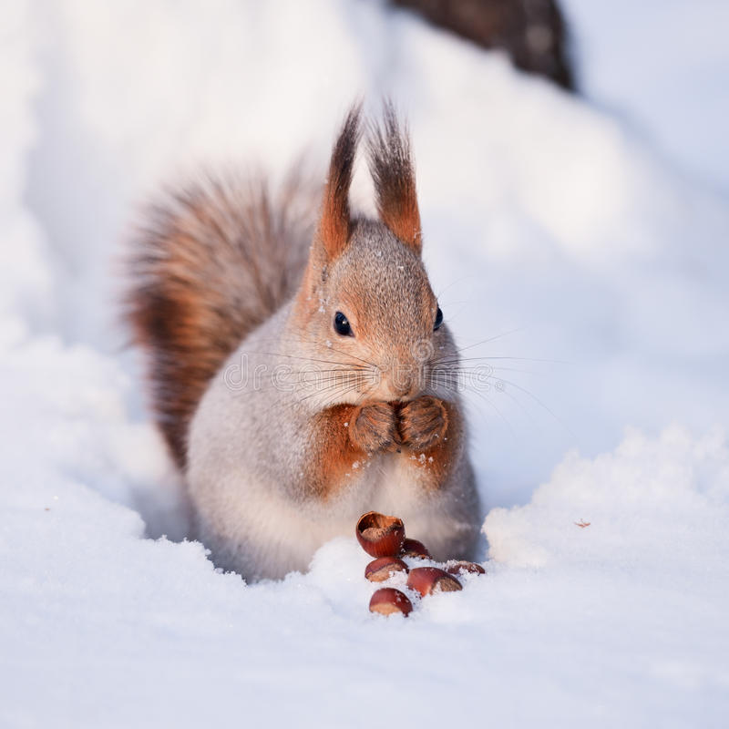 Free Squirrel With A Hazelnut Royalty Free Stock Photo - 17481085