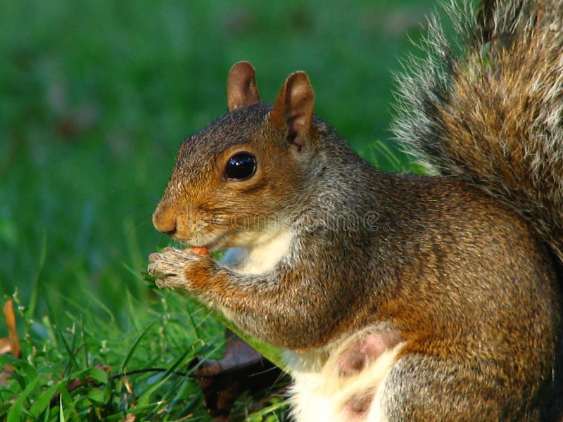 Squirrel - Working Mom stock photo