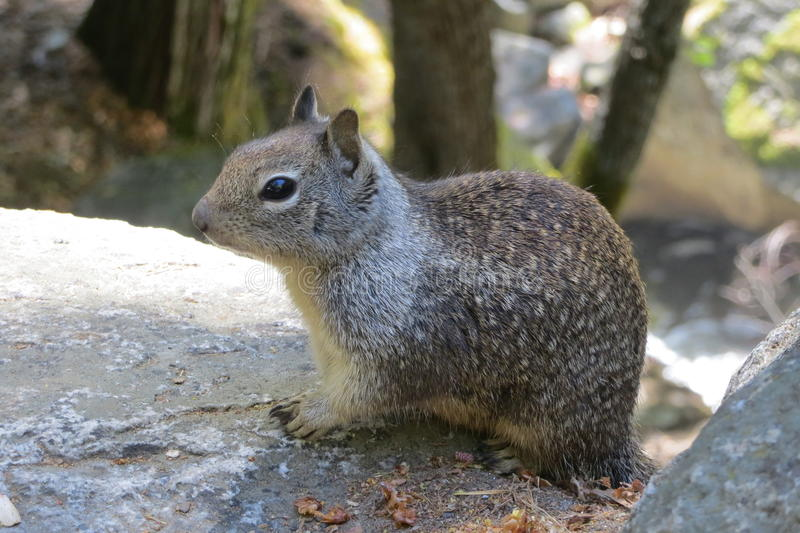 Squirrel in Yosemite National Park stock images