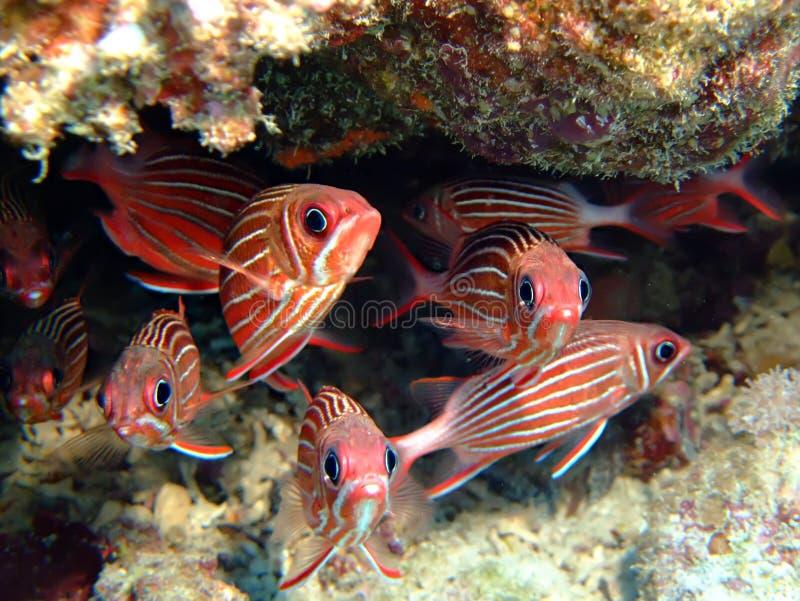 squirrelfish photos libres de droits