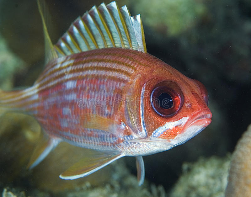 squirrelfish zdjęcia stock