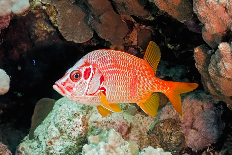 Download Squirrelfish stock image. Image of fish, reef, wildlife - 14856227
