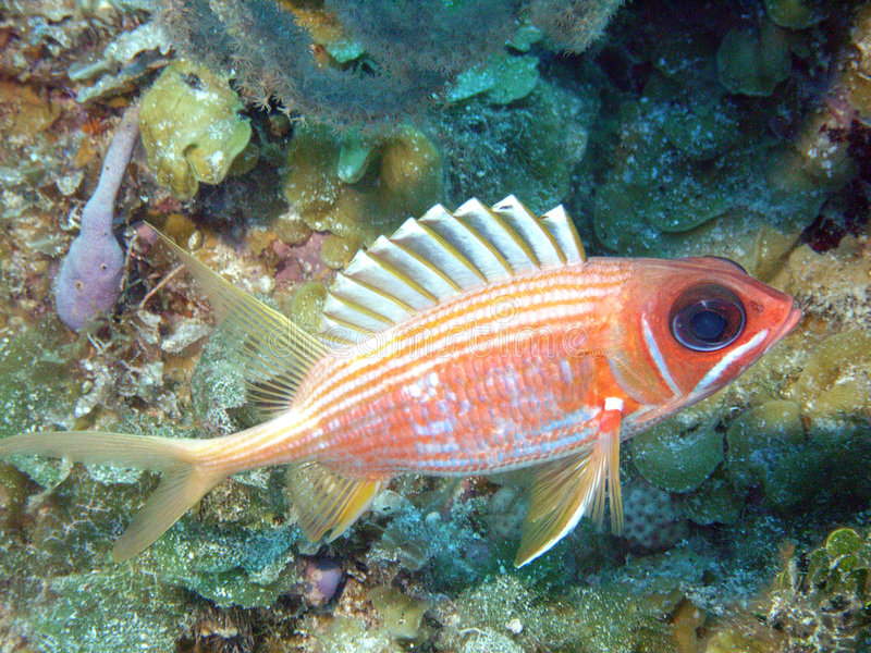 Squirrelfish photo stock