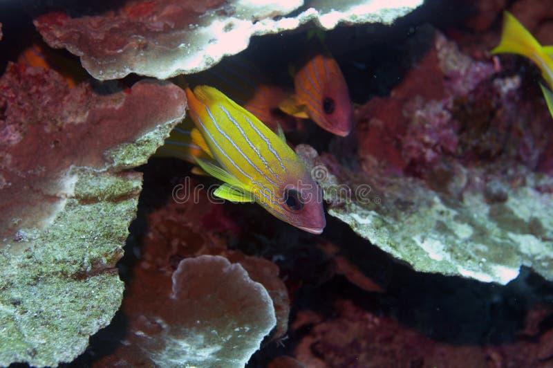 squirrelfish chowany kolor żółty obraz stock