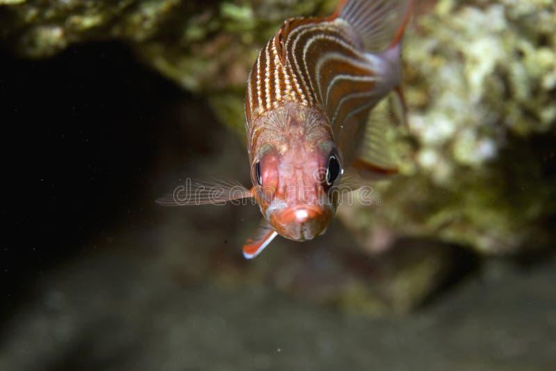 squirrelfish de redcoat images stock