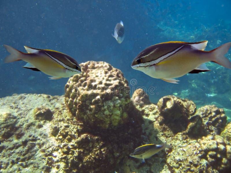 squirrelfishes obraz stock
