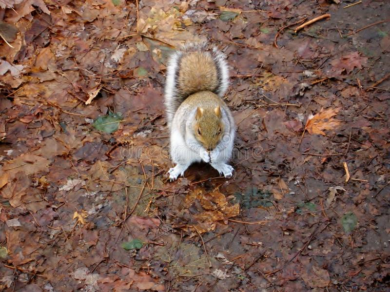 Squirrell in autumn Canada forrest royalty free stock photo
