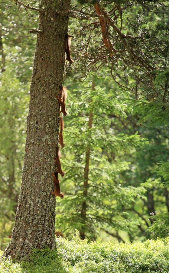Squirrels l'albero rampicante immagine stock