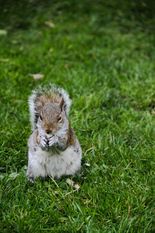 Squirrelwith nut in park in London, England royalty free stock image