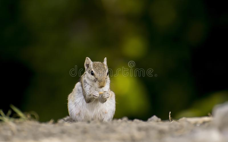 Squrel loves to eat. This squrel are very cute and they are very very fast.Every body loves them stock images