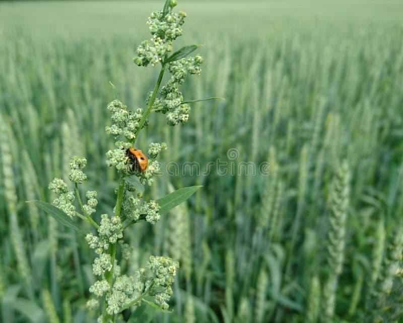 Sr. Ladybug imagens de stock royalty free