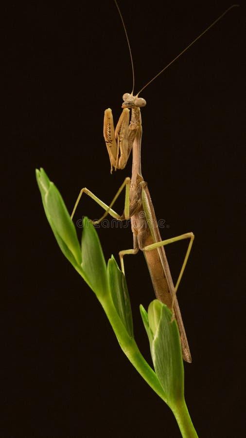 Sr. Mantis em uma haste da flor imagem de stock royalty free