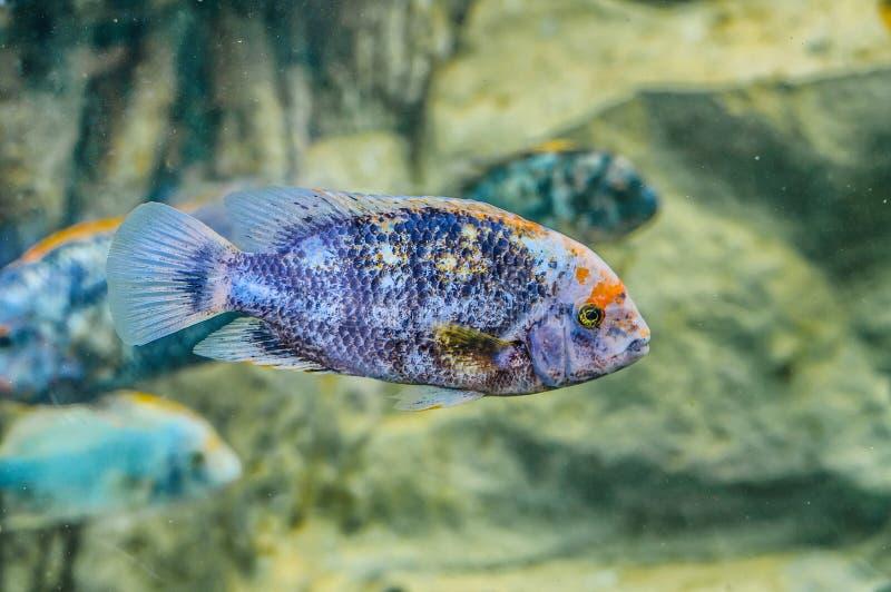 Srebna ryba podwodna w Loro Parque, Tenerife, wyspy kanaryjska fotografia stock