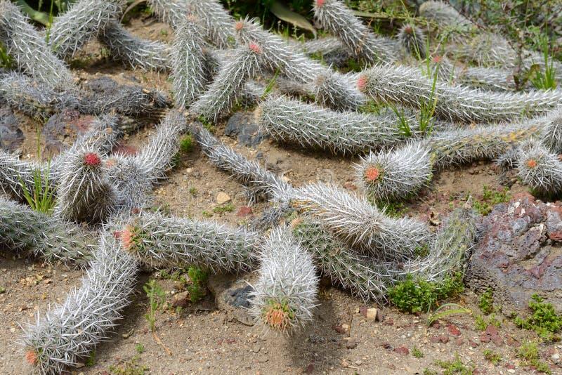Srebna szczura ogonu kaktusowa roślina obrazy stock