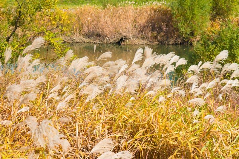Srebna trawa brzeg rzeki w jesieni fotografia stock