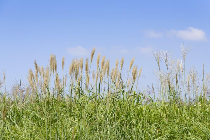 Srebna trawa w polu obraz stock