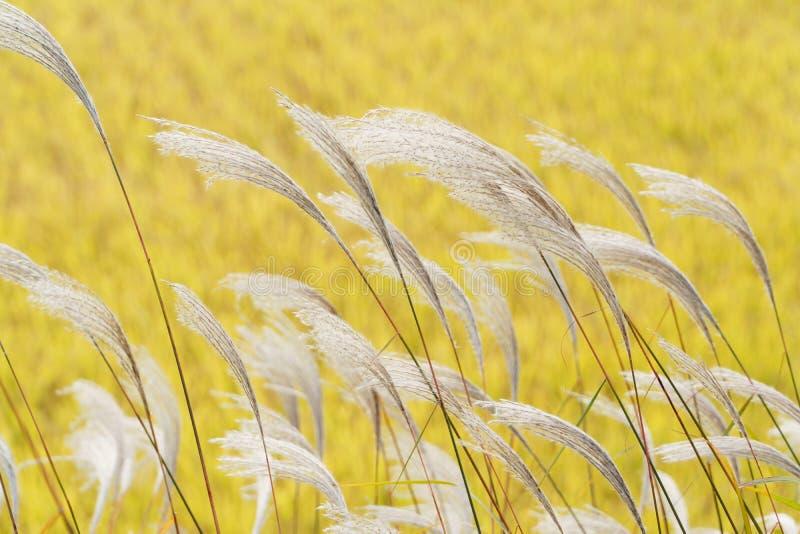 Srebna trawa z wiatrem zdjęcie stock