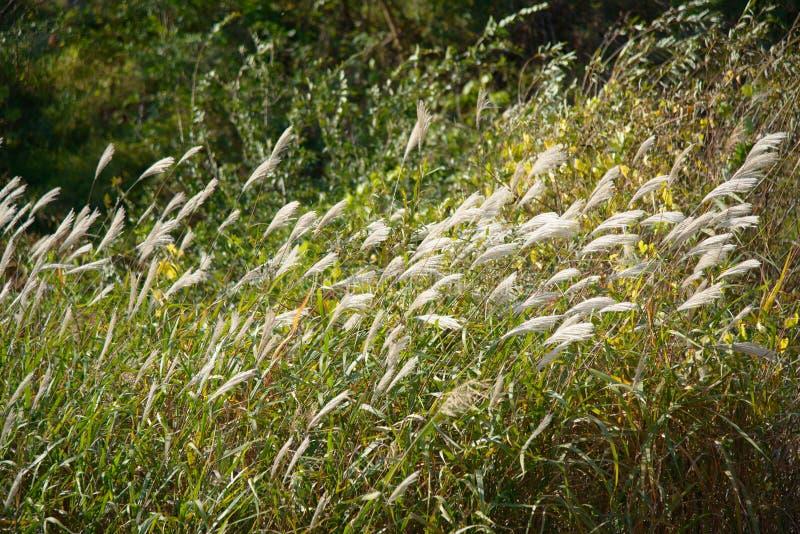 Srebna trawa z wiatrem obrazy royalty free