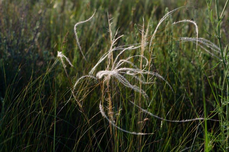 Srebne nici piórkowa trawa kiwają lato ciepłego wiatr zdjęcie royalty free