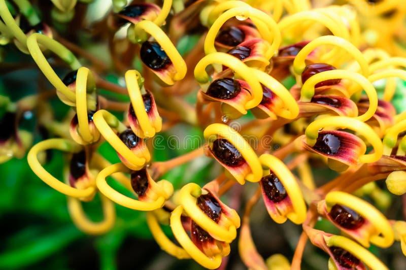 Srebnego dębu kwiatu strzału rosy makro- kropla obraz stock