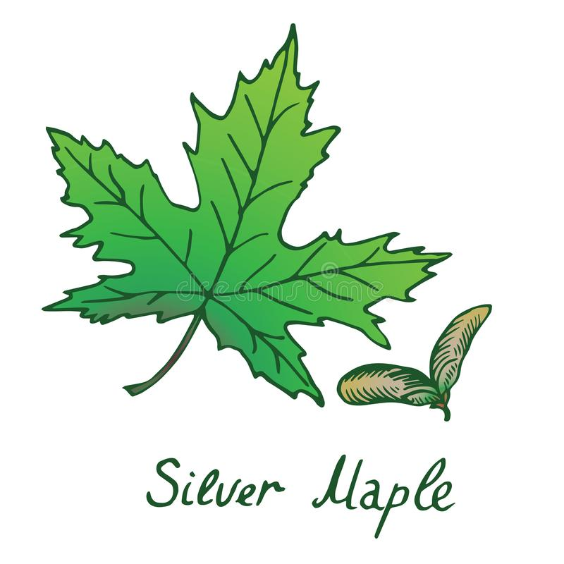 Srebnego klonu Acer saccharinum liść i samaras, ręka rysujący doo royalty ilustracja