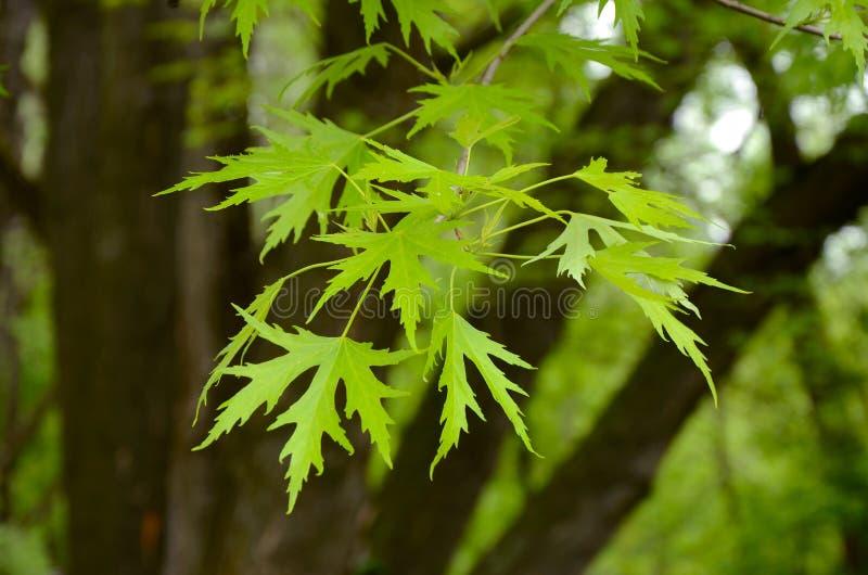 Srebnego klonu gałąź z potomstwami opuszcza Acer saccharinum fotografia royalty free