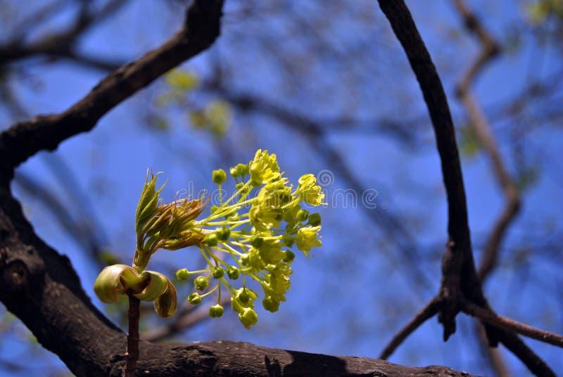 Srebnego klonu kwitnący śniadanio-lunch, błękitny jaskrawy wiosny nieba tło zdjęcie royalty free