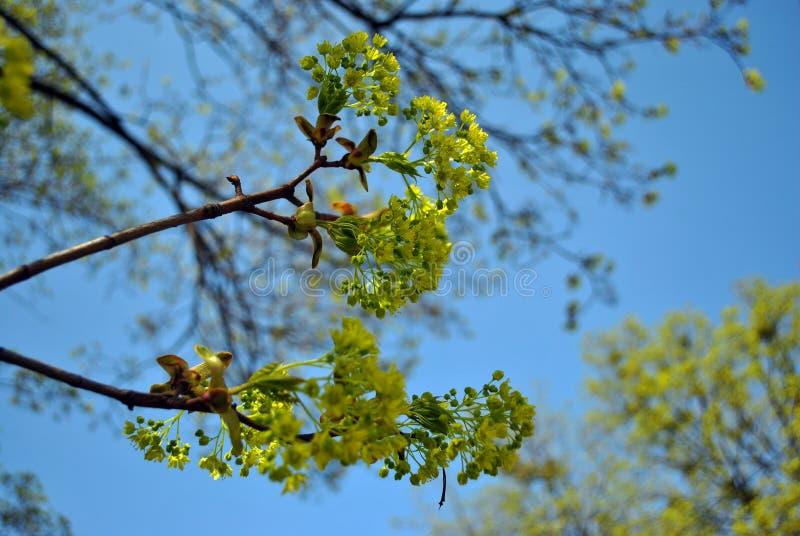 Srebnego klonu kwitnienia gałązki, błękitny wiosny nieba tło obraz stock
