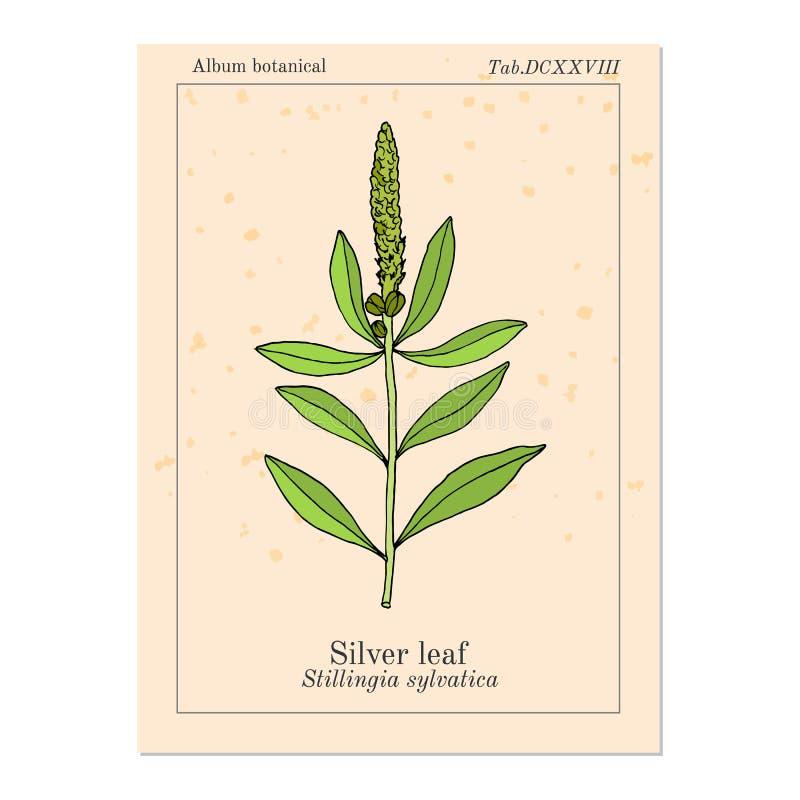Srebnego liścia Stillingia sylvatica lub królowej s zachwyt, Yaw korzeń , lecznicza roślina royalty ilustracja